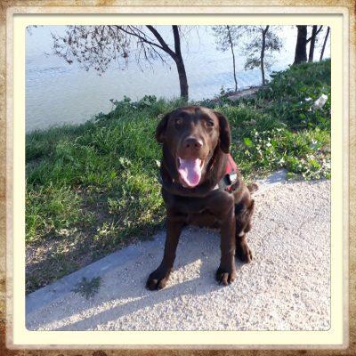 labrador chocolate retriever en Aragón