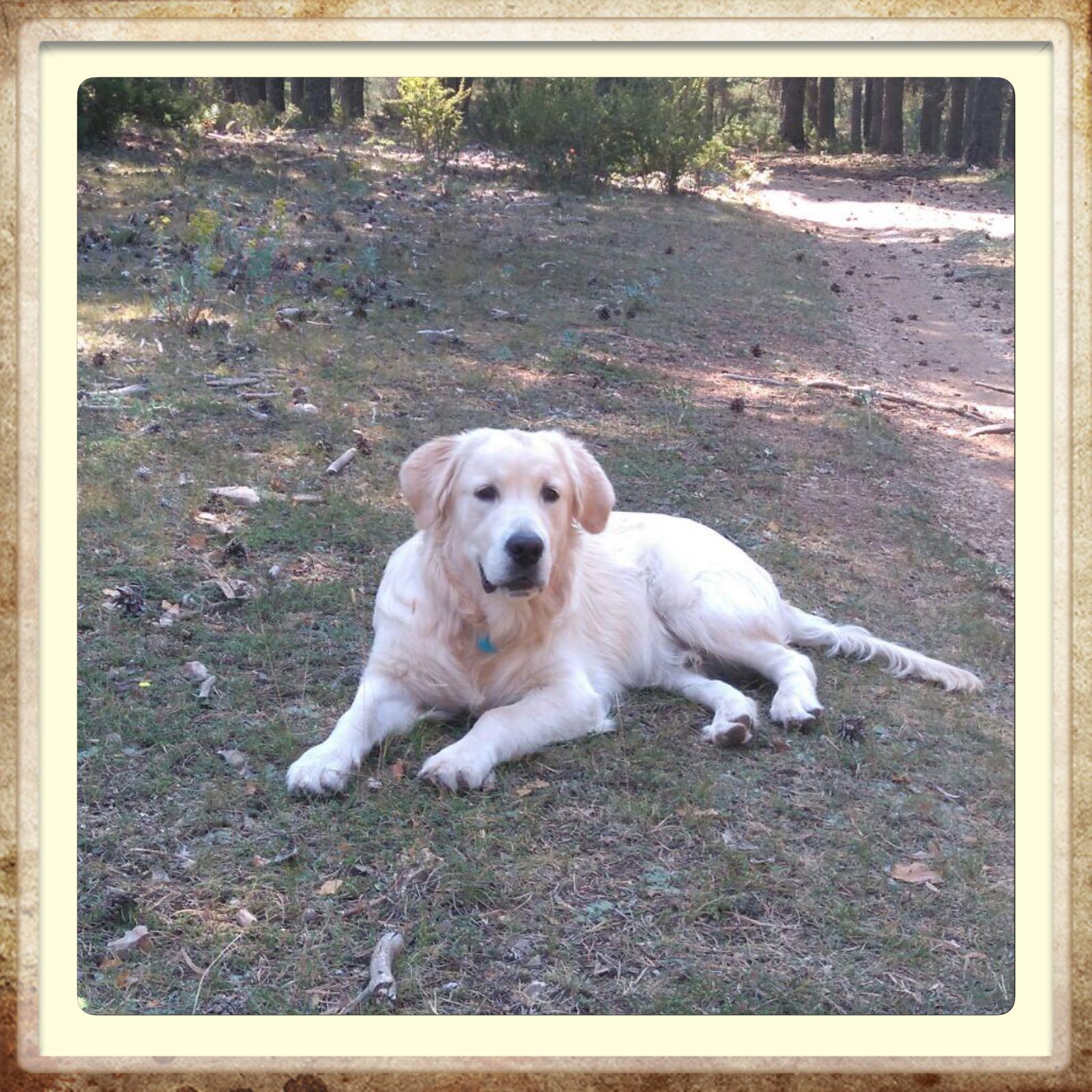 criadero golden blanco en Aragón
