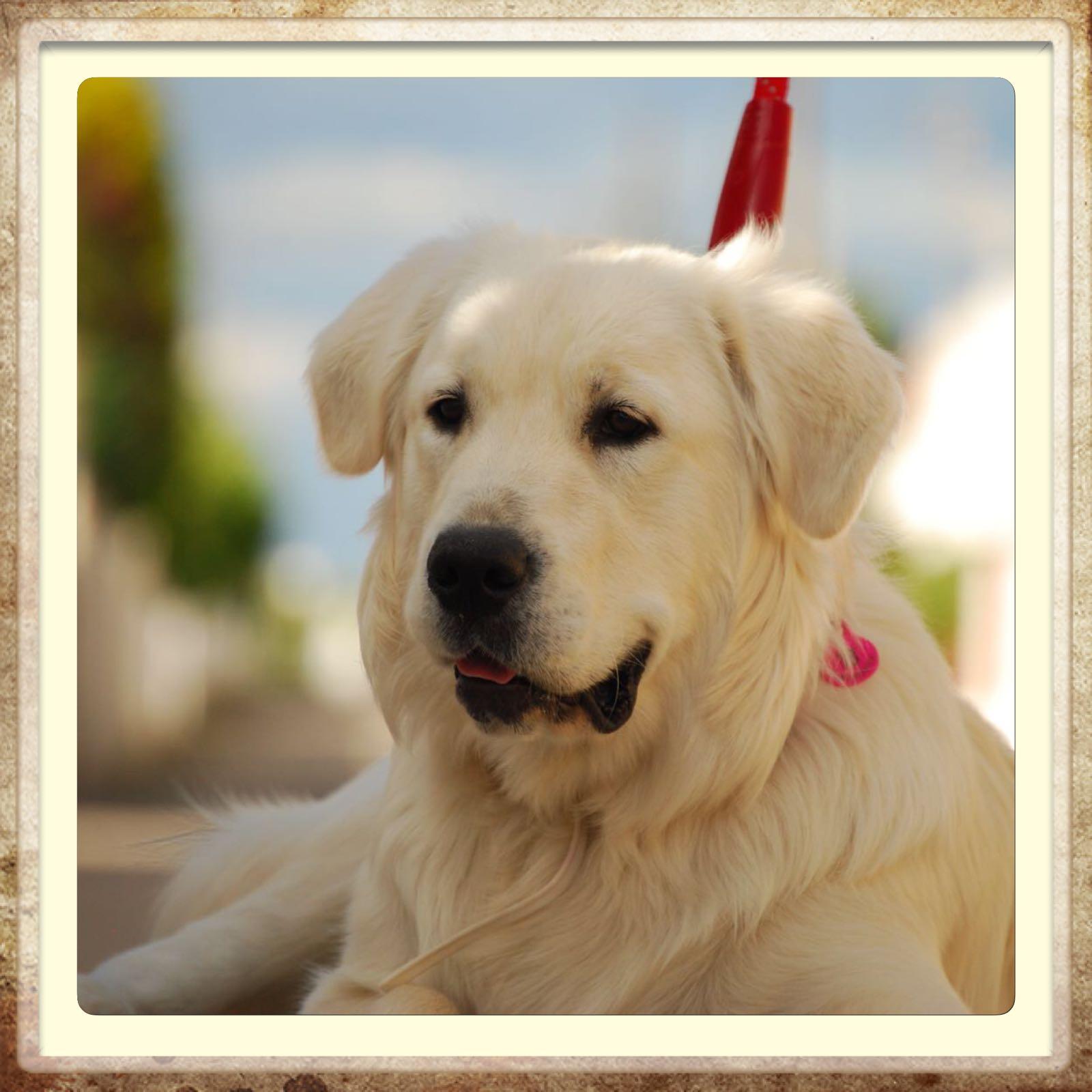 criadero labrador retriever blanco en Aragón