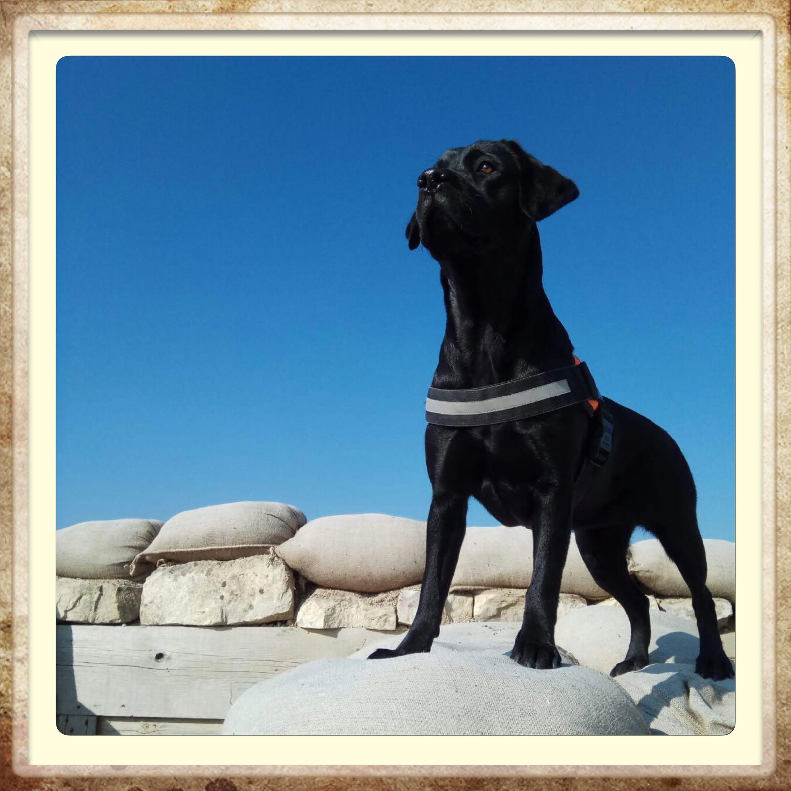 labrador retriever en Aragón